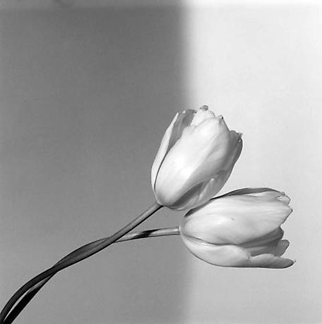 © Robert Mapplethorpe. TULIP. 1985.